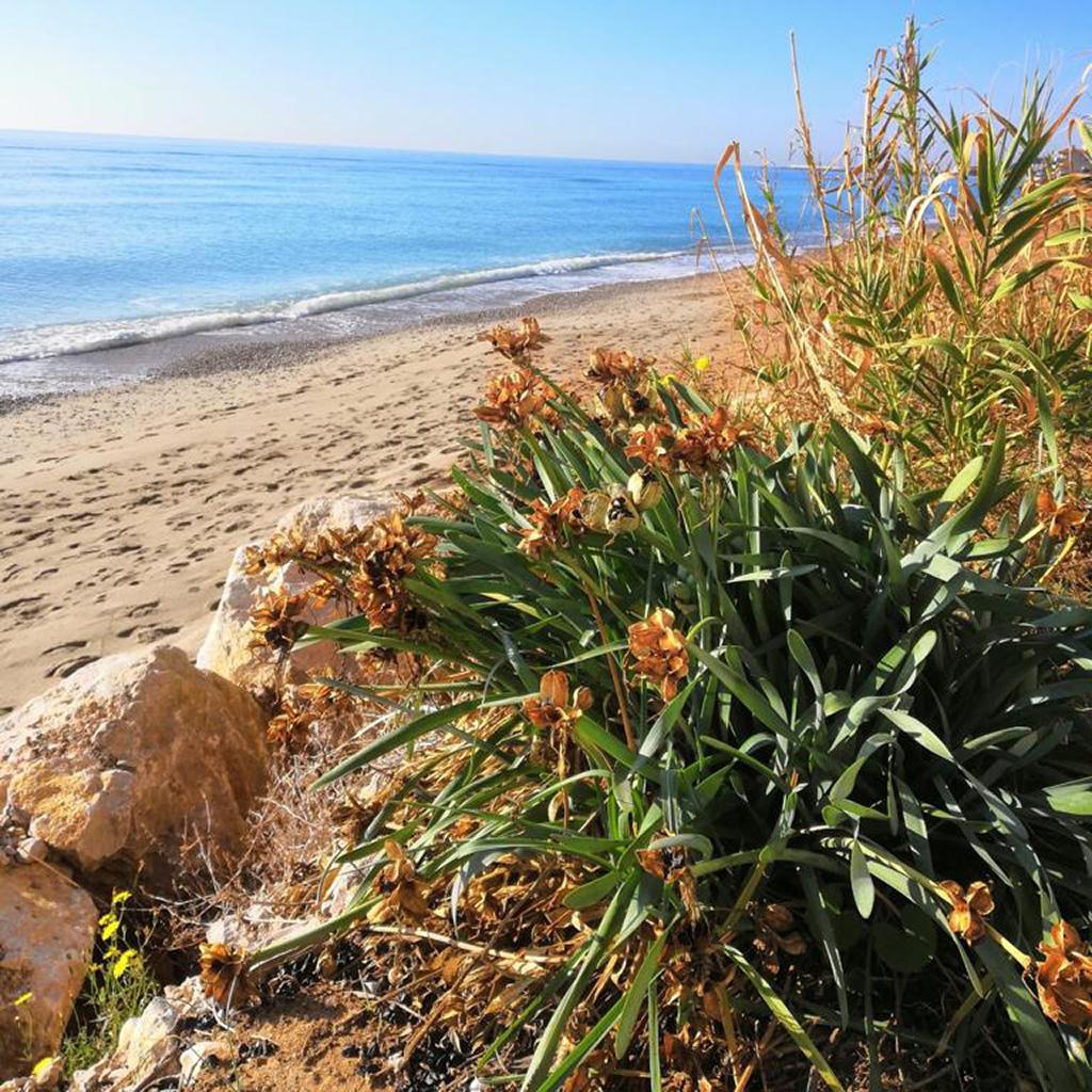 Geven, Grup Ecologista del Vendrell i Baix Penedès, medi ambient, ecologistes, ecologisme, les madriguetes, corriol camanegre, natura, animals, platja, espais naturals, baix penedès, anellament, lliri de mar, Pancratium maritimum