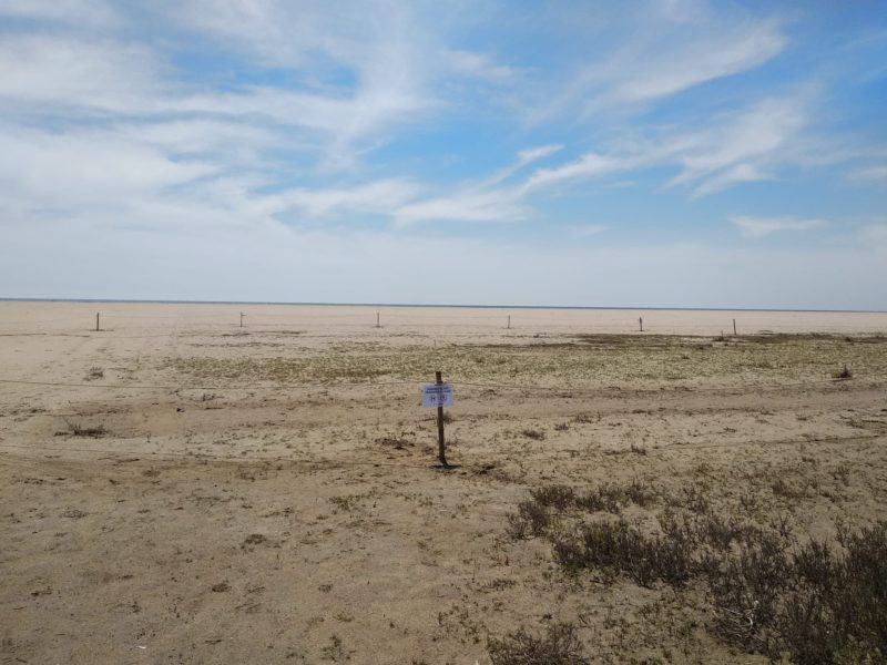 Geven, Grup Ecologista del Vendrell i Baix Penedès, medi ambient, ecologistes, ecologisme, les madrigueres, corriol camanegre, natura, medi ambient, animals, platja, espais naturals, baix penedès, AIGUAMOLLS, flamenc, anellament, micromamifers, lliri de mar, Pancratium maritimum, Cunit, dunes, torrent pedro