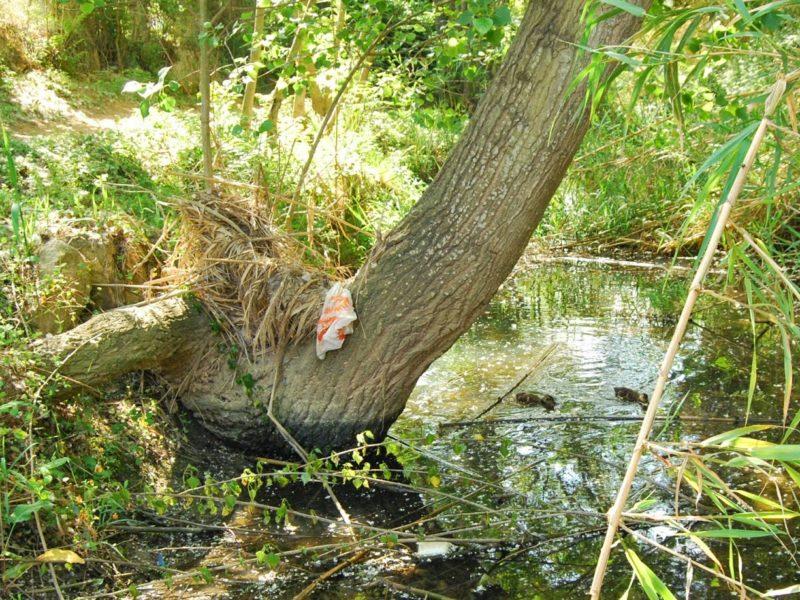 Geven, Grup Ecologista del Vendrell i Baix Penedès, medi ambient, ecologistes, ecologisme, les madrigueres, corriol camanegre, natura, medi ambient, animals, platja, espais naturals, baix penedès